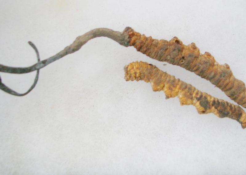 Kordiceps – Cordyceps Sinensis